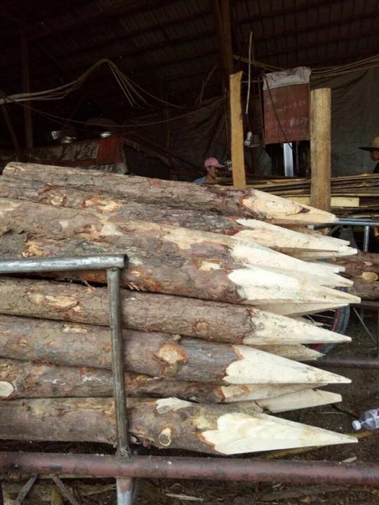 广西松木桩