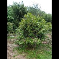 金花茶 野生大树