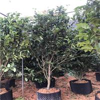 金花茶原生树
