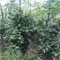 广西哪里有金花茶原生树