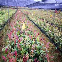 广西哪里有供应金花茶 野生大树