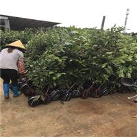 金花茶野生大树供应