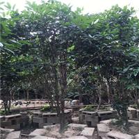 金花茶野生大树基地