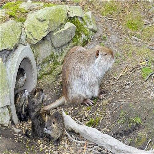 清远海狸鼠、惠州海狸鼠、河源海狸鼠