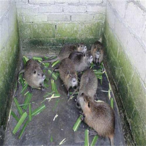 顺德海狸鼠、佛山海狸鼠、广西海狸鼠