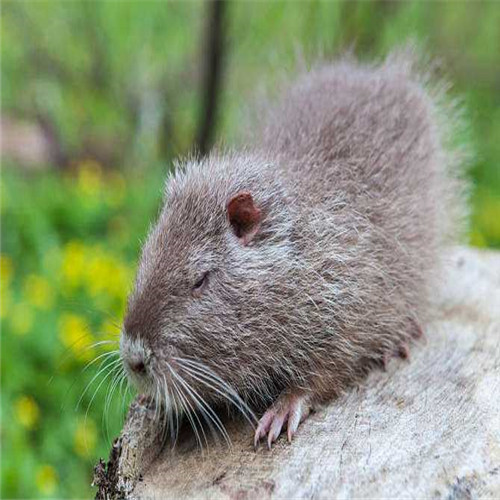 湖南海狸鼠、湖北海狸鼠、清远海狸鼠