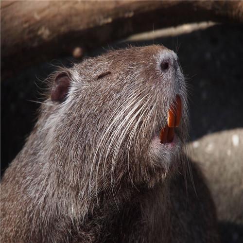 英德海狸鼠、清远海狸鼠、惠州海狸鼠