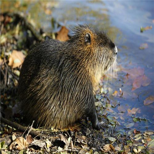 深圳海狸鼠、惠州海狸鼠、佛山海狸鼠
