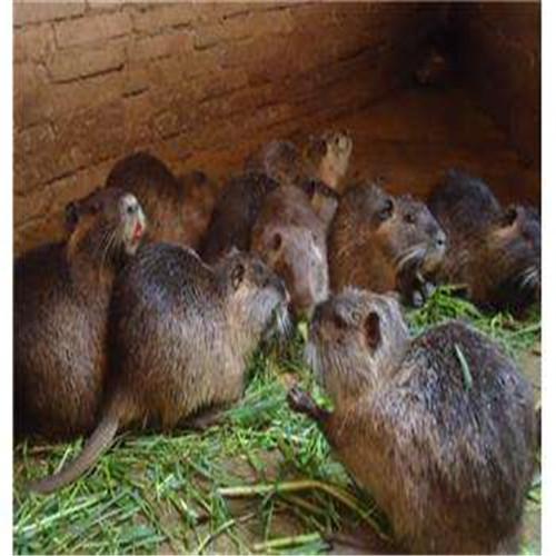 英德海狸鼠、广东海狸鼠、顺德海狸鼠
