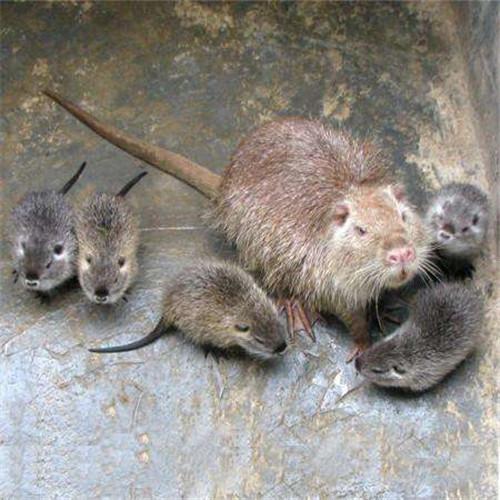 广西海狸鼠I湖南海狸鼠I湖北海狸鼠