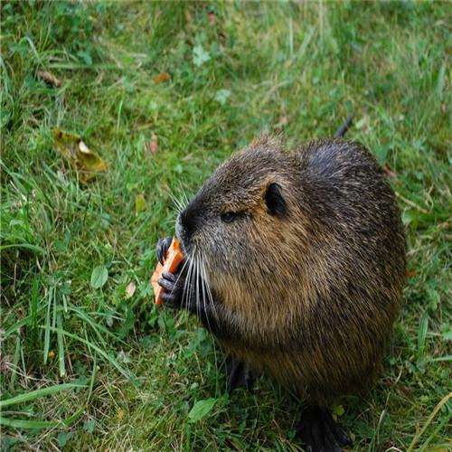 深圳海狸鼠、惠州海狸鼠、东莞海狸鼠