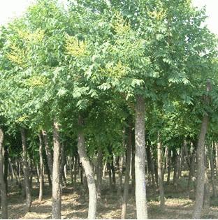 �G化苗木1