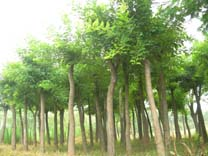 �G化苗木