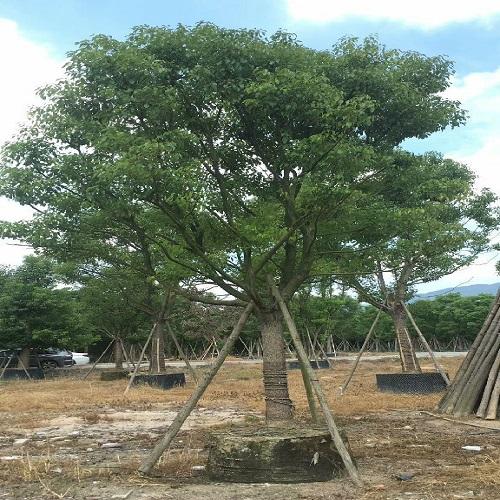 福建苗木基地供�����|香樟是��良的�G化�湫械�浼巴ナa��