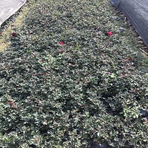 �S花月季是春季主要的�^�p花卉�r格低廉