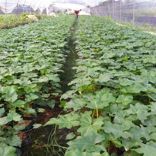 一�N植物春羽多年生常�G草本植物在福建打�_了�N路