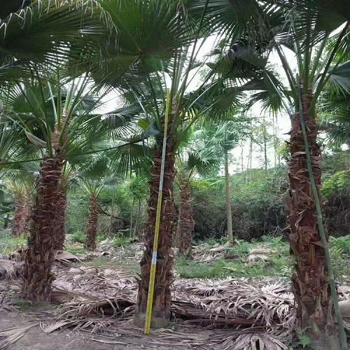 生�B造林�浞N高�U蒲葵大量供��