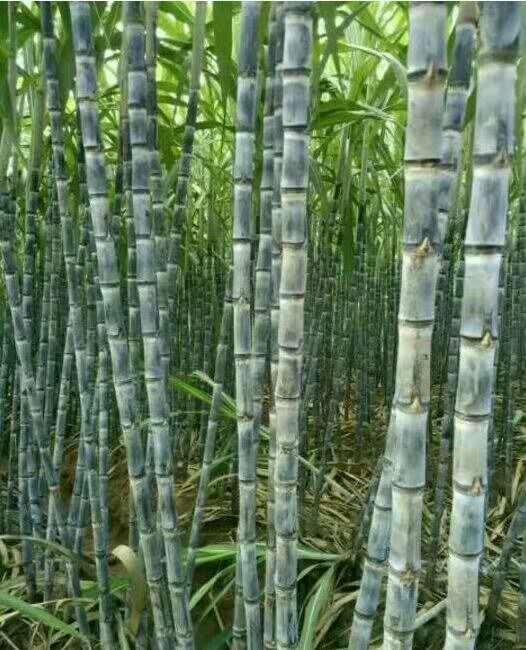 广西甘蔗代办